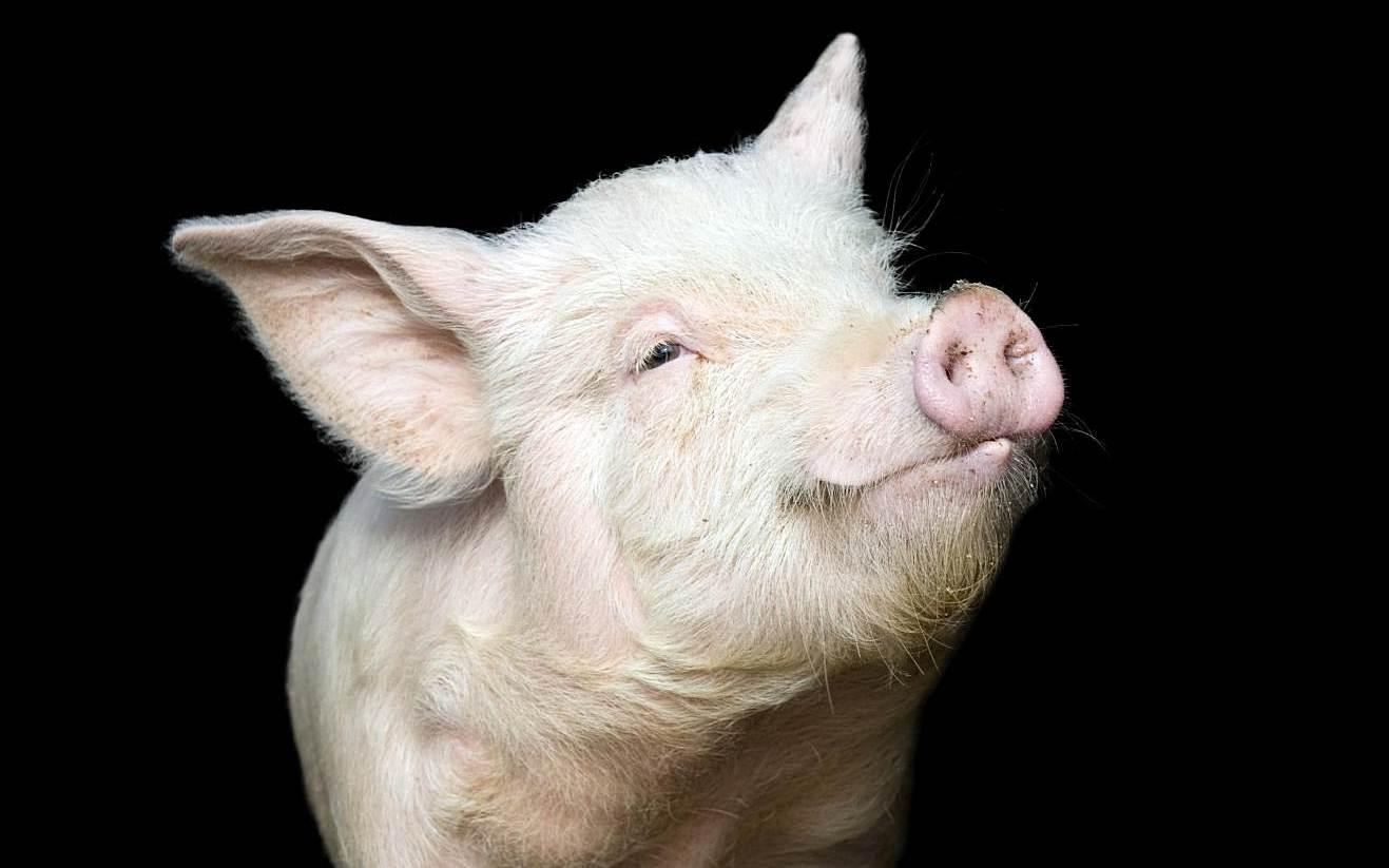 A pig's orgasm lasts