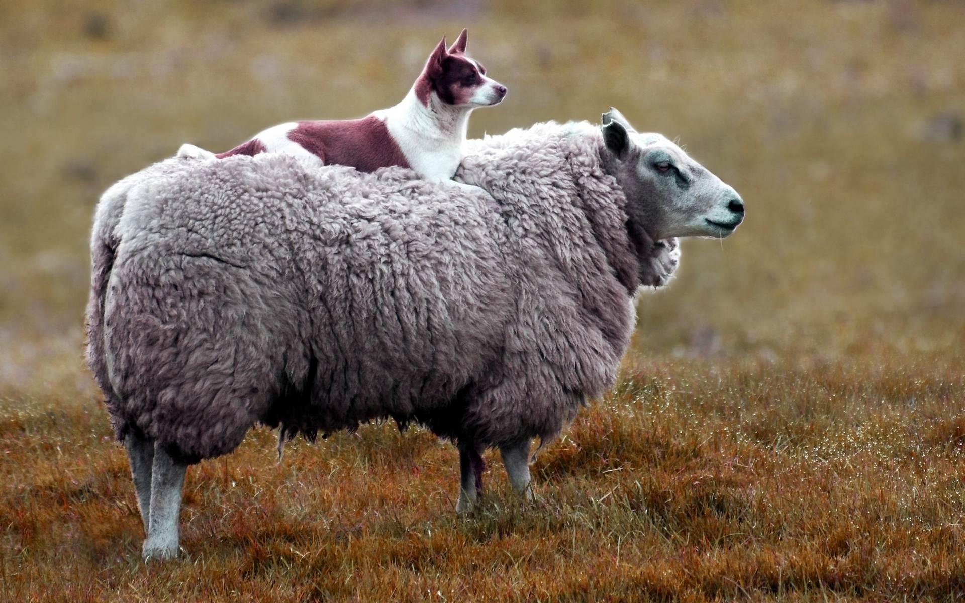 Обычай секс с овцой