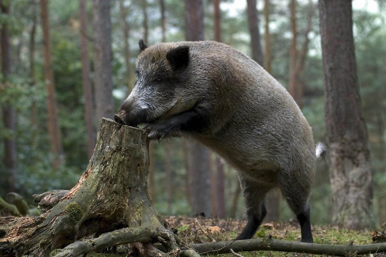 Секс с свиньи и кабаном фото 337-355