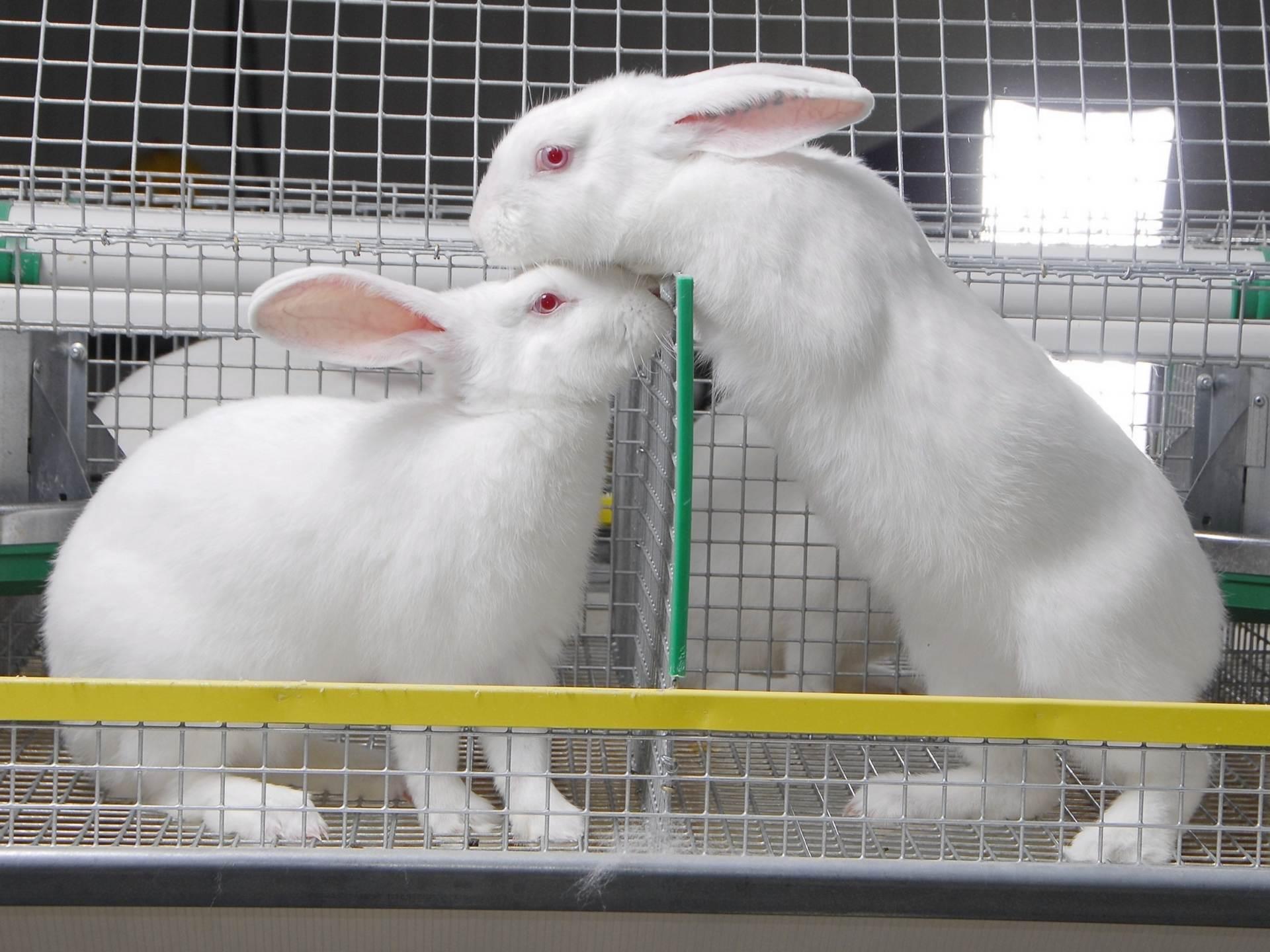 С чего начать разведение кроликов в домашних условиях 91