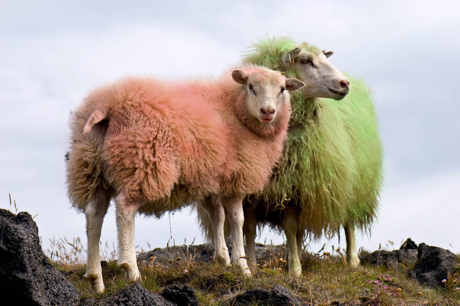 Секс с овцой обычай