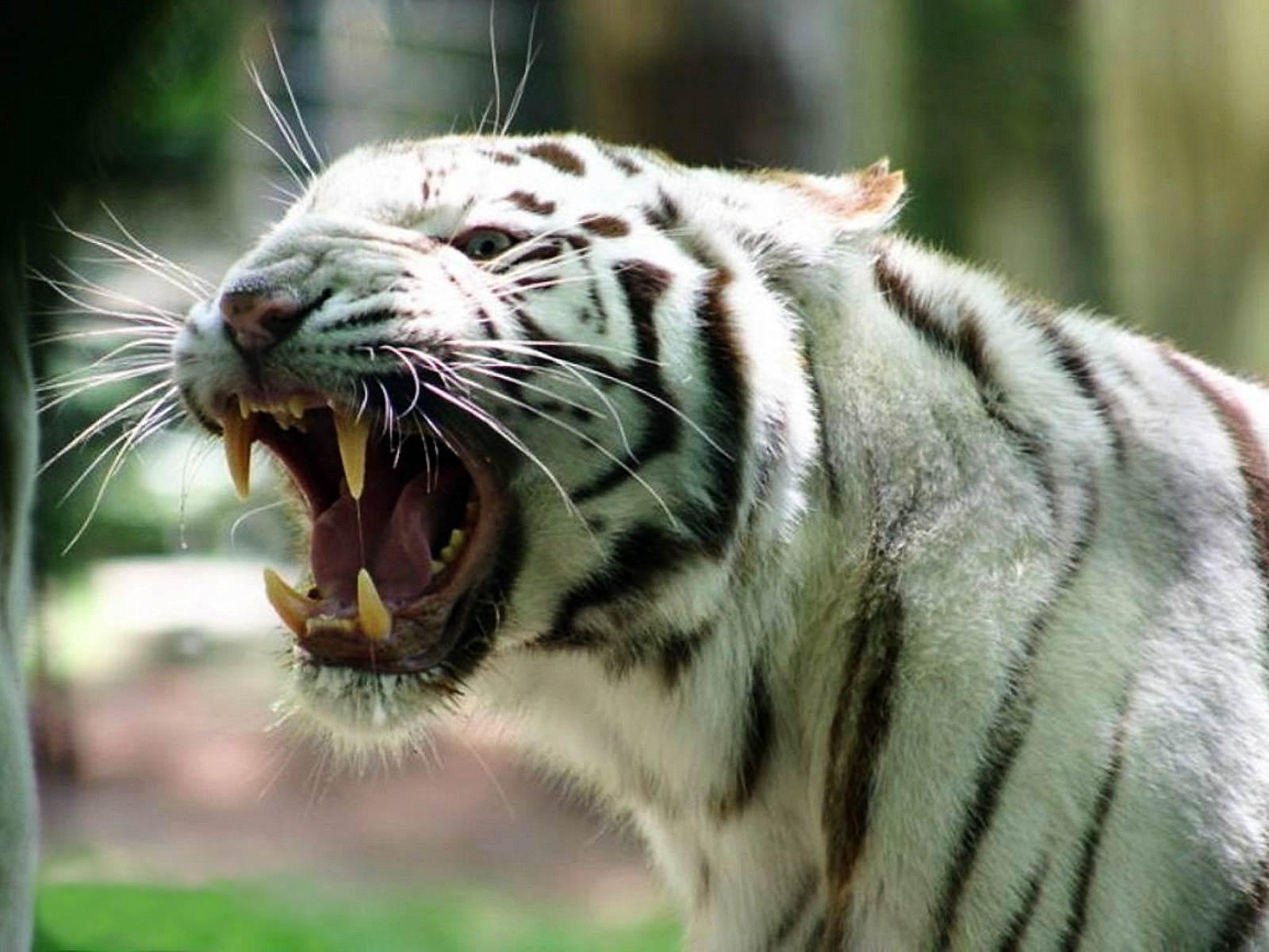 Сексуальный темперамент овца тигр